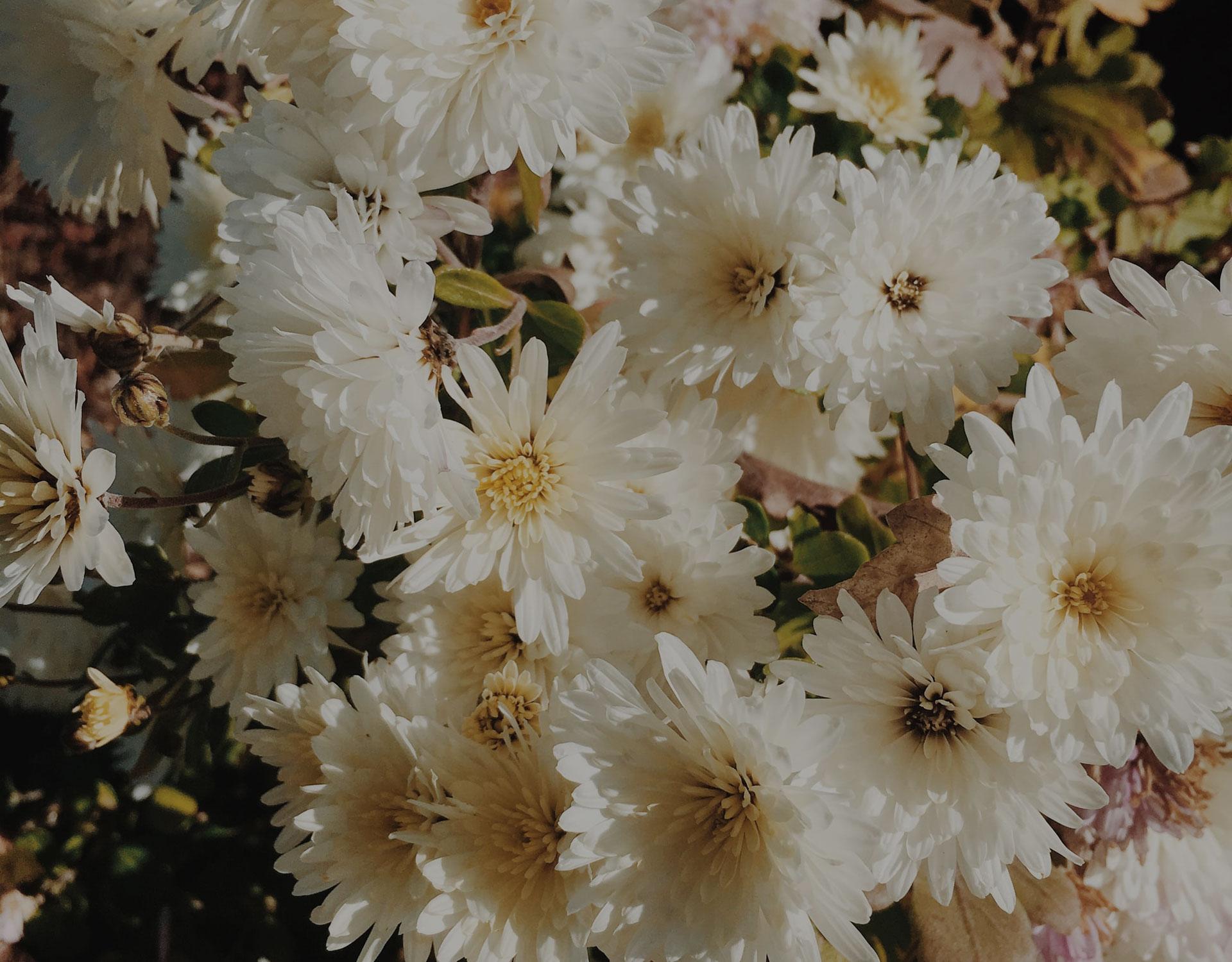 Blumenwiese weiße Blumen